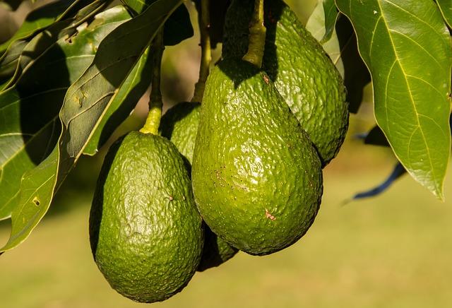 avokáda na stromě.jpg
