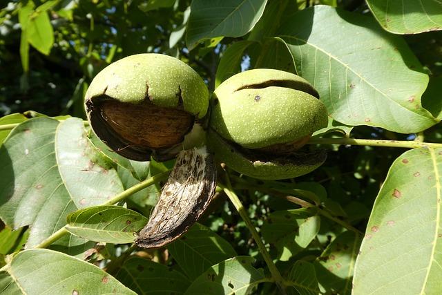 dozrávající vlašské ořechy na stromě